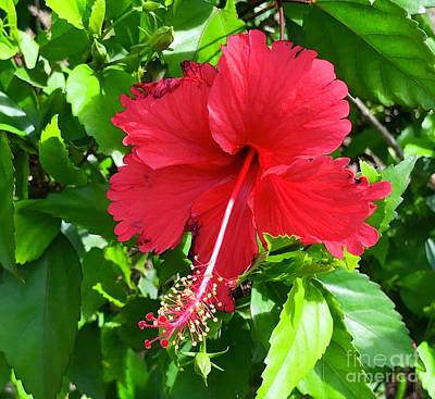 Photograph - Hibiscus by Suzanne Lorenz