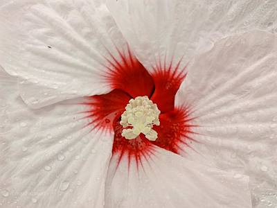Photograph - Hibiscus Swirl by Kathy Barney