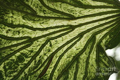 Modern Sophistication Beaches And Waves - Hibiscus Tiliaceus Variegata 3 by Jennifer Bright