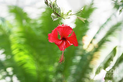 Hothouses Photograph - Hibiscus by Tim Gainey