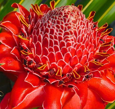 Photograph - Hibiscus Torch Ginger by Nan Hauser