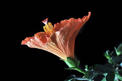 Hibiscus Vein Original