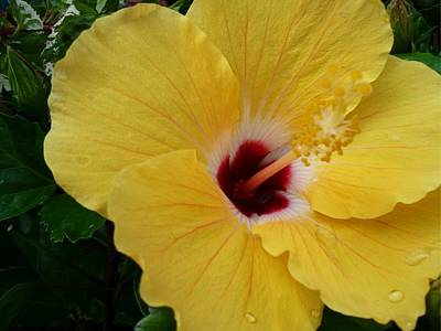 Photograph - Hibiscus Yellow by Florene Welebny