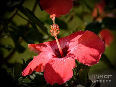 Garden Photograph - Hibiscus  by Zina Stromberg