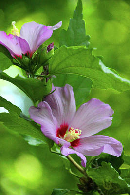 Hibiscus5586 Art Print by Carolyn Stagger Cokley