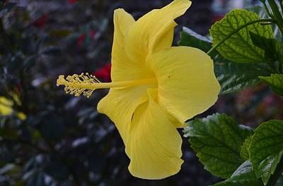 Photograph - Hibiscus Stamin by Warren Thompson