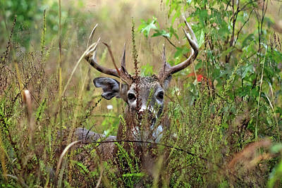 Photograph - Hidden Autumn Buck by TnBackroadsPhotos