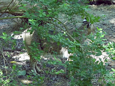Photograph - Hidden Bobcat by D Hackett