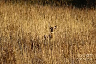 Missouri Whitetail Photograph - Hidden Figure by Tammy Miller