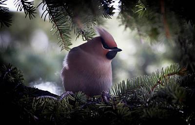 Cedarwax Wing Photograph - Hidden  by Neil Raskin