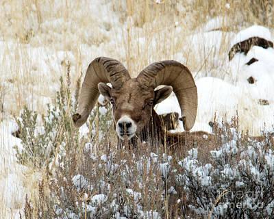 Photograph - Hidden Ram by Mike Dawson