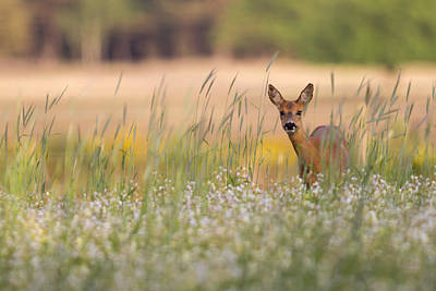 Deer Photograph - Hide And Seek by Andy Luberti