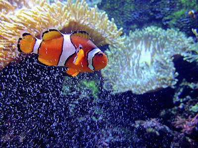 Clown Fish Photograph - Hide In Seek by Paul Slebodnick