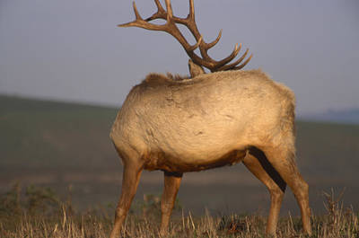 Tule Elk Photograph - Hide The Face - Tule Elk by Soli Deo Gloria Wilderness And Wildlife Photography