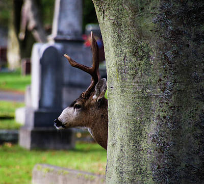 Photograph - Hiding Buck by Perggals - Stacey Turner