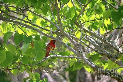 Photograph - Hiding Cardinal In Beautiful Tree by Carol Groenen