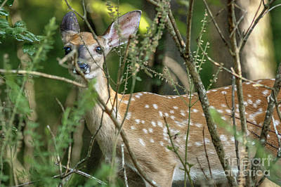 Photograph - Hiding Fawn by David Cutts