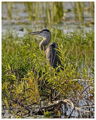 Photograph - Hiding Heron II by Carol  Bradley