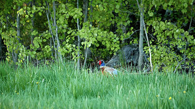 Photograph - Hiding In The Grass. Pheasant by Jouko Lehto