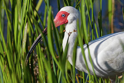 Photograph - Hiding In The Reeds by David Watkins
