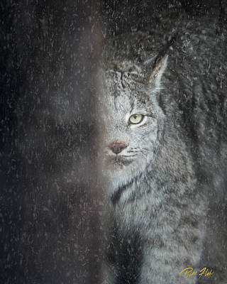 Photograph - Hiding Lynx by Rikk Flohr