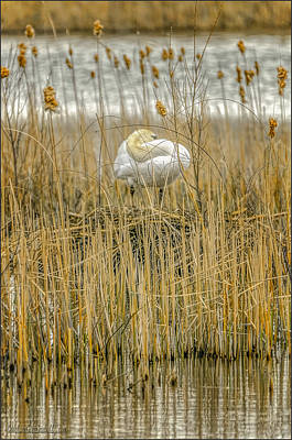 Swan Photograph - Hiding Swan On Nest by LeeAnn McLaneGoetz McLaneGoetzStudioLLCcom