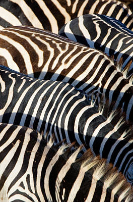 Repetition Photograph - High Angle View Of Burchells Zebras by Panoramic Images