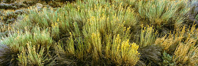 High Angle View Of Sagebrush In Field Print by Panoramic Images