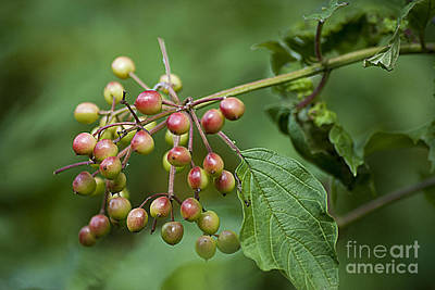 Photograph - High Bush Cranberry 20120703_106a by Tina Hopkins