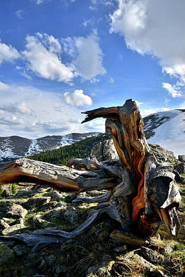 Photograph - High Country Bristlecone by Ray Mathis