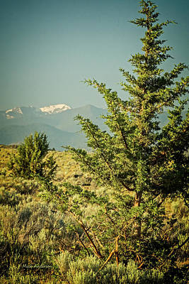 Photograph - High Dessert Pine by Mick Anderson