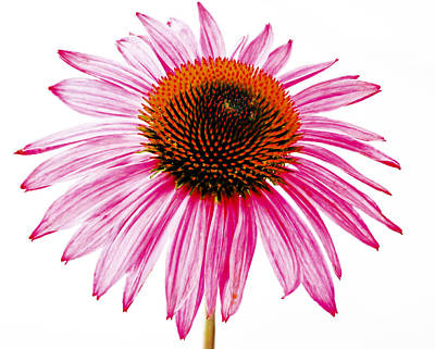Photograph - High Key Echinacea by Jean Noren
