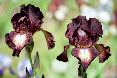 Photograph - High Life. The Beauty Of Irises by Jenny Rainbow
