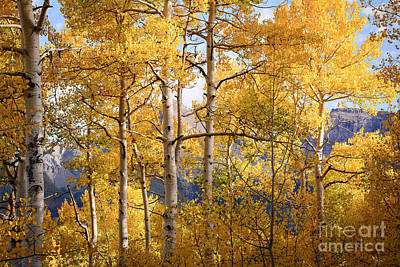 Photograph - High Mountain Aspens by The Forests Edge Photography - Diane Sandoval