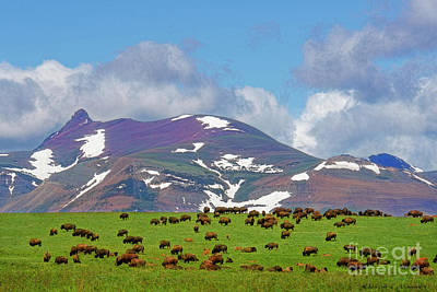 Photograph - High Plain Buffalo by David Arment