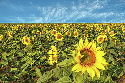 Photograph - High Plains Sunflowers by Scott Cordell