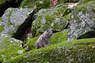 Photograph - High Sierra Bobcat by Mark Miller