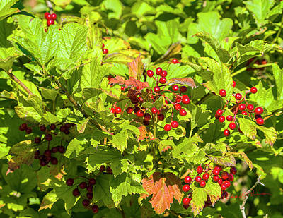 Photograph - Highbush Cranberry Crop by Edward Peterson