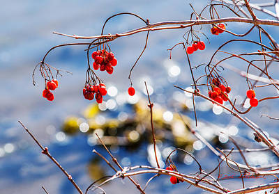 Photograph - Highbush Cranberry by Edward Peterson