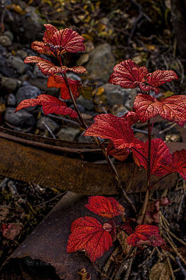 Photograph - Highbush Cranberry Leaves by Fred Denner