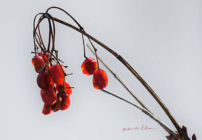 Photograph - Highbush Cranberry Minimal by Edward Peterson