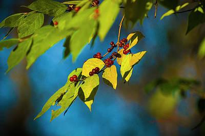 Thomas Kinkade Rights Managed Images - Highbush Cranberry Ready Royalty-Free Image by Edward Peterson