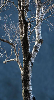 Photograph - Highground Birch by Roger Lever