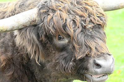 Photograph - Highland Bull Up Close by Steve McKinzie