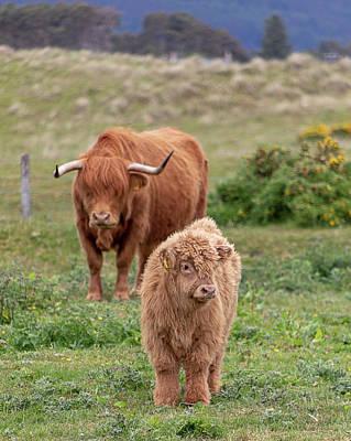 Photograph - Highland Calf And Mom by Teresa Wilson