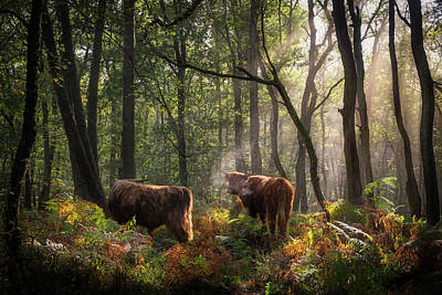 Photograph - Highland Cattle In The Forest by Edwin Mooijaart