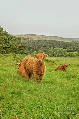 Photograph - Highland Cattle by Patricia Hofmeester