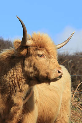 Photograph - Highland Cattle by Tony Mills