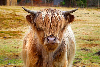 Photograph - Highland Cow 2 by Dominick Moloney