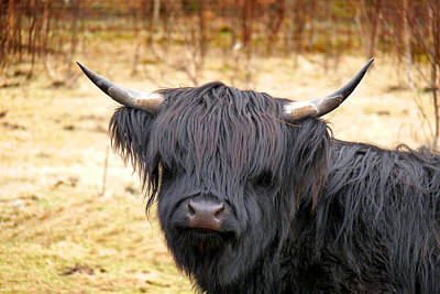 Photograph - Highland Cow 4 by Dominick Moloney